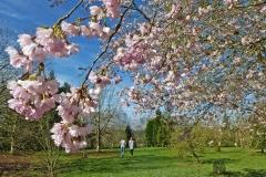 Cherry blossom in spring  (c) Sally Geake